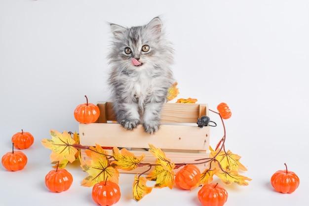 Un simpatico gattino con una lingua siede in una scatola di legno accanto alle zucche. felice halloween. copia spazio.