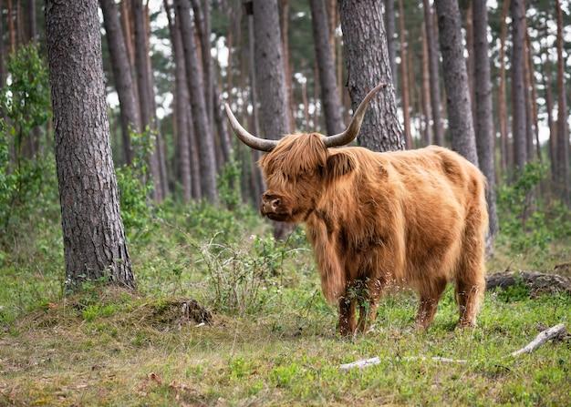 Simpatica grande mucca selvatica dell'altopiano scozzese marrone con lunghe corna nella foresta