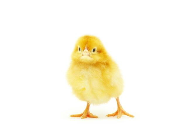 Piccolo pollo sveglio del bambino isolato su fondo bianco white