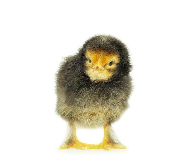 Piccolo pollo sveglio del bambino isolato su fondo bianco