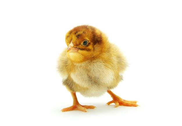 Piccolo pollo sveglio del bambino isolato su bianco