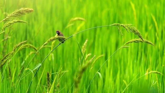 Simpatici uccellini nelle risaie verdi