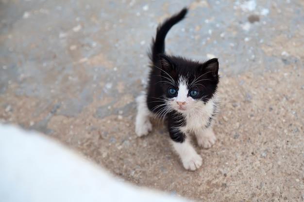 Carino piccolo gattino bianco e nero con gli occhi azzurri