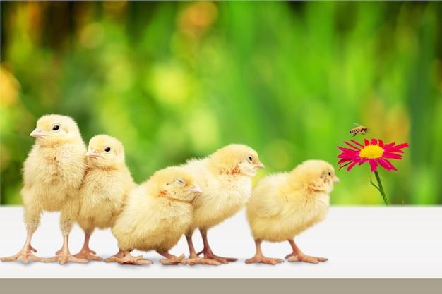 Piccolo pollo carino in giardino