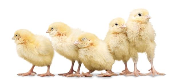 Pollo carino isolato su bianco
