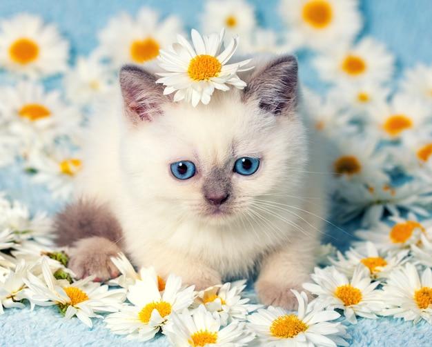 Simpatico gattino punto colore seduto su fiori di camomilla