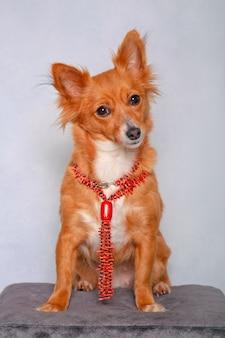 Simpatico cagnolino preoccupato con collana su sgabello