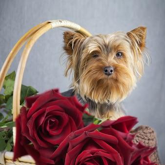 Piccolo cane sveglio in un cestino con rose fiorite