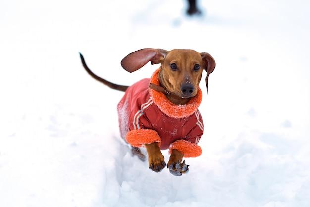 Simpatico cagnolino che attraversa la neve