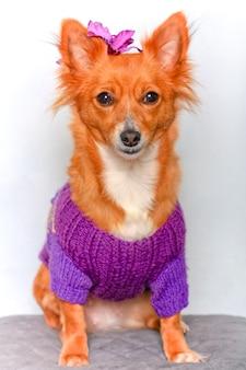 Simpatico cagnolino in maglione con accessorio per capelli sulla testa
