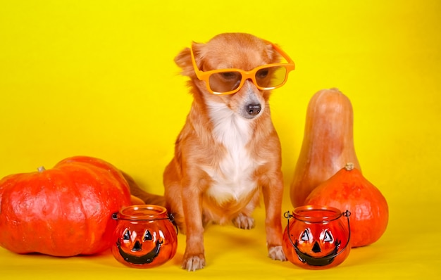 Simpatico cagnolino con zucche su sfondo giallo