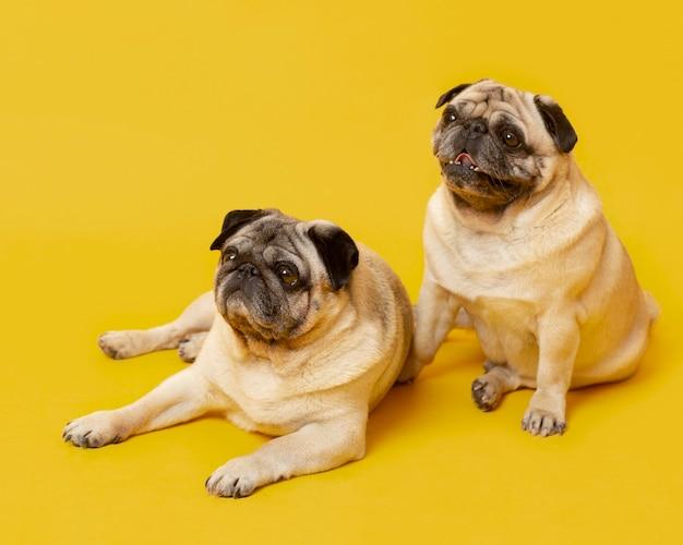 Simpatici cagnolini isolati su giallo
