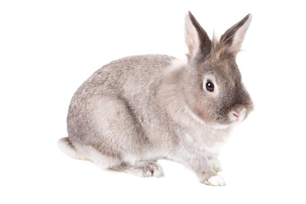 Simpatico coniglietto grigio e bianco peloso, simbolo della pasqua, seduto ad angolo verso la telecamera, isolato su bianco