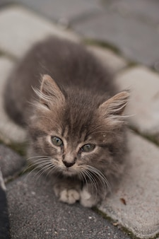 Piccolo gattino grigio sveglio con gli occhi verdi che si rilassano, primo piano