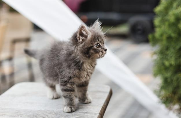 Piccolo gattino grigio sveglio con gli occhi verdi che si rilassano sulla sedia di legno, primo piano