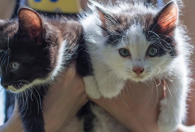 Piccoli gattini svegli bianchi e neri nelle mani all'aperto.