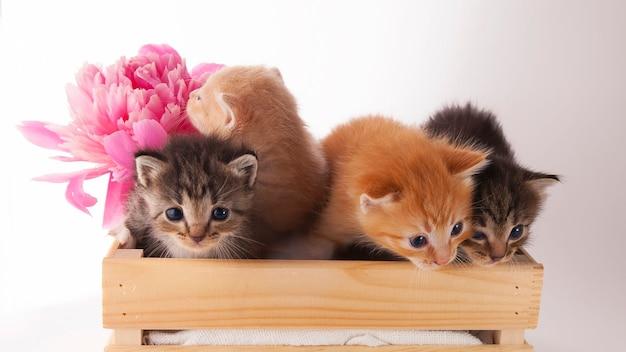 Simpatici gattini siederanno in una scatola con una peonia rosa