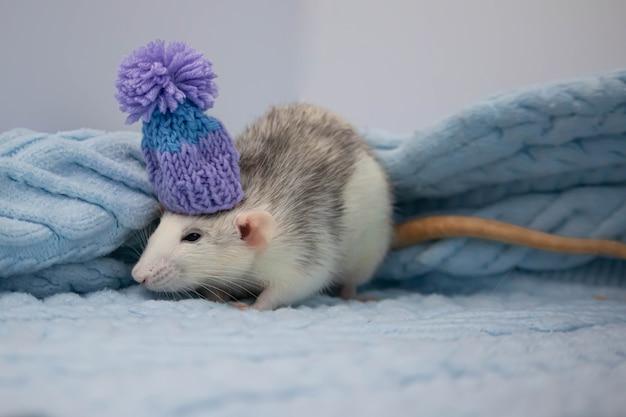Un simpatico topo siede in una morbida coperta lavorata a maglia. il roditore indossa un bellissimo cappello blu con un pompon. ritratto del primo piano di un animale.