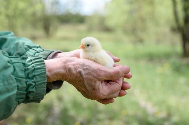 Piccolo pulcino giallo neonato minuscolo sveglio del bambino nelle mani dell'agricoltore senior anziano della donna sulla natura