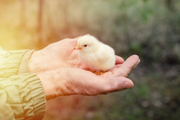 Piccolo pulcino giallo neonato minuscolo sveglio del bambino nelle mani della donna maggiore anziana.