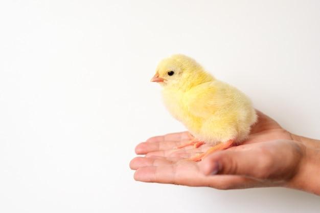 Pulcino giallo neonato minuscolo sveglio del bambino in mano del bambino su priorità bassa bianca