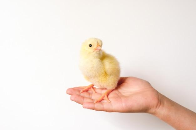 Pulcino giallo neonato minuscolo sveglio del bambino in mano del bambino su superficie bianca