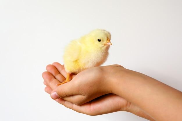 Pulcino giallo neonato minuscolo sveglio del bambino nelle mani del bambino su priorità bassa bianca