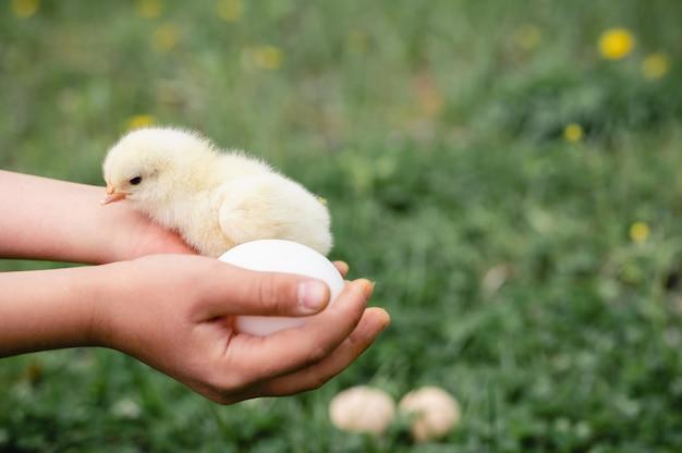 Pulcino giallo neonato minuscolo sveglio del bambino nelle mani dei bambini del contadino su erba verde e uova di gallina