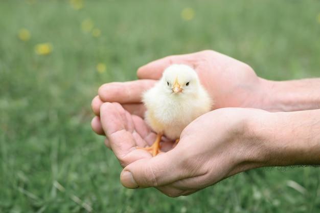 Pulcino giallo neonato minuscolo sveglio del bambino nelle mani maschii del coltivatore su priorità bassa dell'erba verde