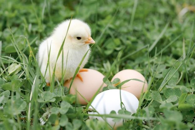 Carino piccolo piccolo neonato giallo pulcino e tre uova di allevatore di pollo nell'erba verde sulla natura all'aperto