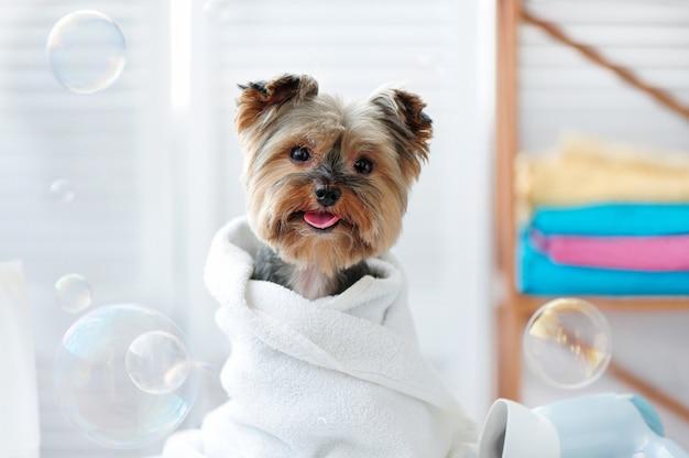 Piccolo cane di yorkie sveglio in un asciugamano dopo il bagno