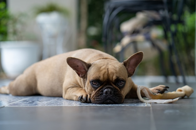 Bulldog francese sembrante sveglio che si trova sul pavimento con l'osso di cuoio