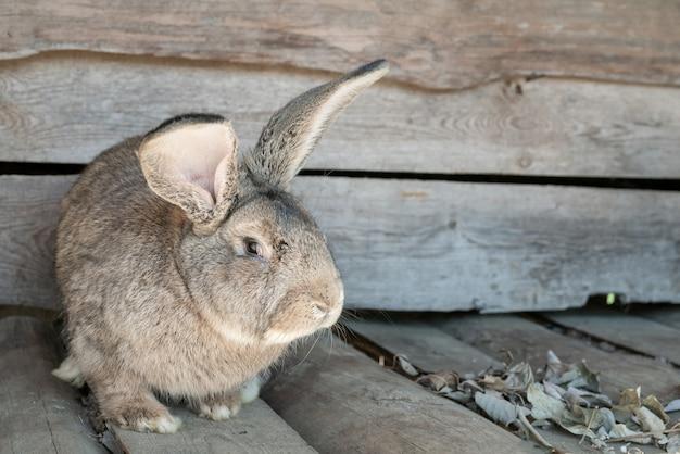 Simpatico coniglio adorabile con le orecchie lunghe. animali in fattoria.