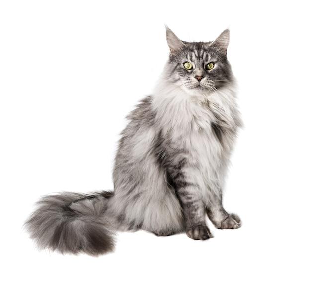 Il simpatico gatto maine coon sembra pensieroso isolato sulla superficie bianca