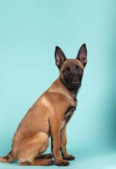 Cucciolo di malinois sveglio che si siede nel profilo che guarda verso la telecamera su uno sfondo colorato