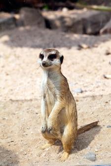 Meerkat carino in uno zoo naturale