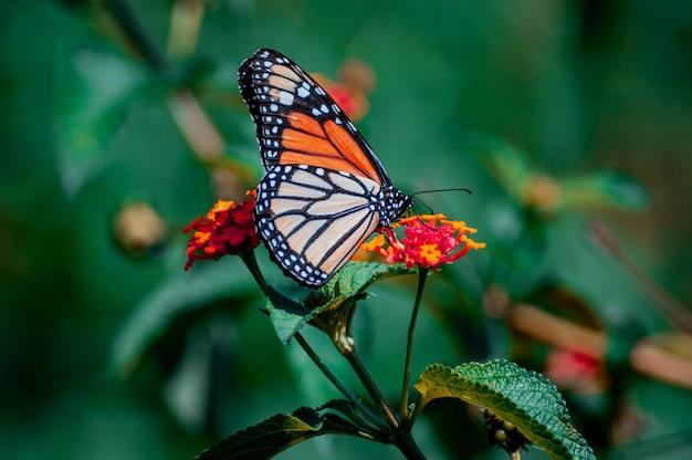 Farfalla monarca carino in posa su un fiore