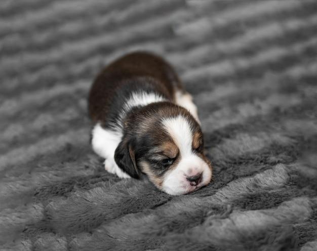 Cucciolo di beagle neonato sveglio che dorme sul velo grigio, primo piano
