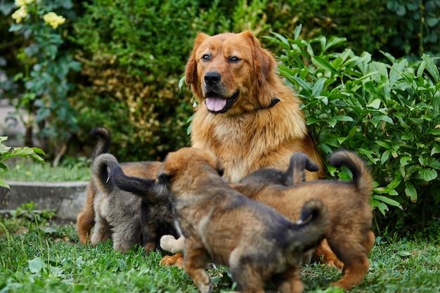 Simpatici cuccioli di terranova che succhiano il seno con il latte delle sue madri, sdraiati sull'erba verde, cane che allatta al seno, cane femmina con cuccioli.