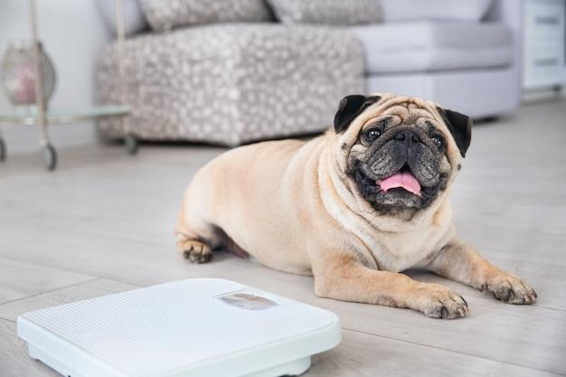 Carlino in sovrappeso carino sul pavimento con bilancia a casa
