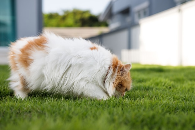 Il simpatico gatto persiano sta mangiando erba a base di erbe su un campo di erba verde, per il concetto medico e organico naturale dell'animale domestico, profondità di campo del fuoco selettivo