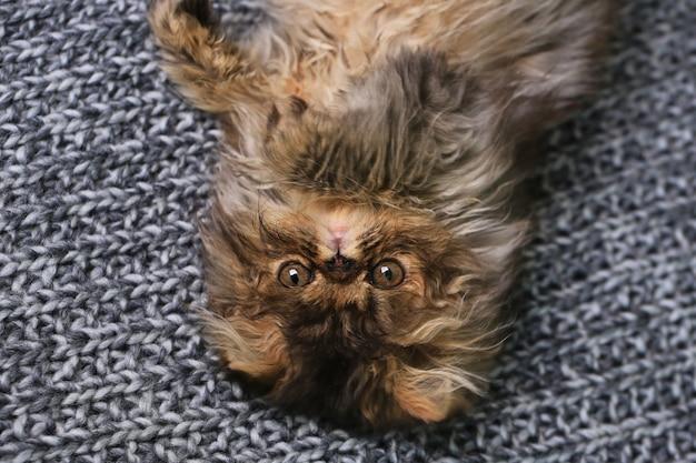Simpatico gattino persiano sdraiato su una coperta a maglia