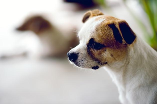 Cute pet dog white aspetta che il capo torni a casa. mi siedo di fronte a casa durante il giorno.