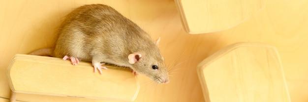 Simpatico ratto lanuginoso per animali domestici con pelliccia beige marrone su una tavola su uno sfondo di legno