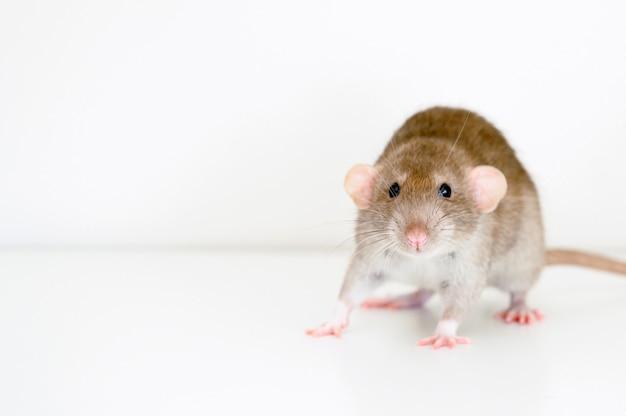 Ratto lanuginoso dell'animale domestico sveglio con pelliccia beige marrone su sfondo bianco
