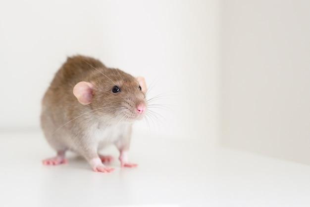 Ratto lanuginoso dell'animale domestico sveglio con pelliccia beige marrone su una parete bianca