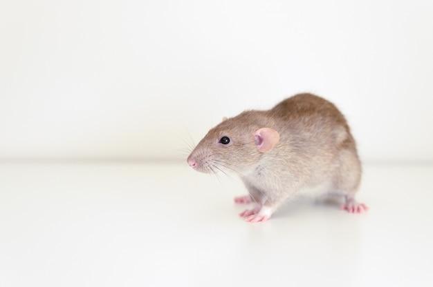 Ratto lanuginoso dell'animale domestico sveglio con pelliccia beige marrone