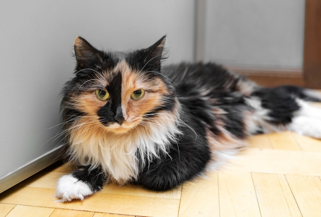 Il simpatico gatto tricolore è sdraiato sul pavimento di legno vicino al muro grigio e guarda la telecamera. messa a fuoco selettiva.