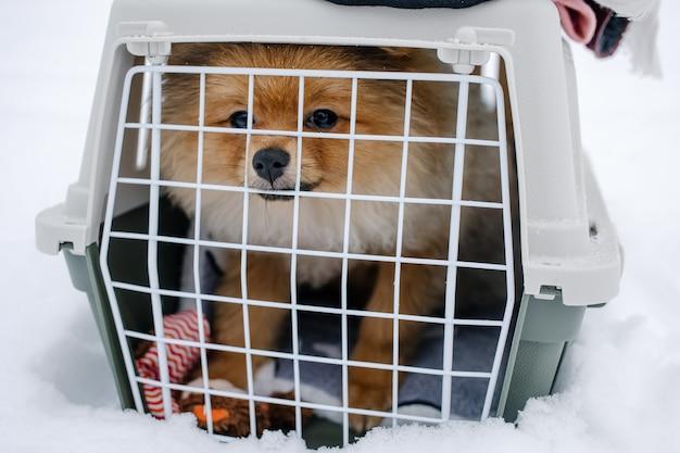 Cucciolo di pomerania sveglio che si siede in una scatola da viaggio