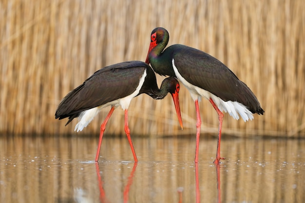 Ritratto sveglio di una coppia di corteggiamento cicogne nere nell'acqua